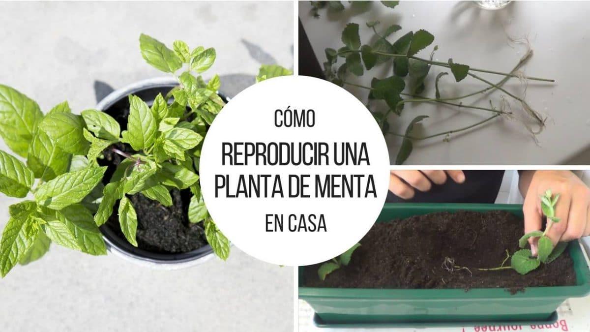 Reproducir-planta-de-menta