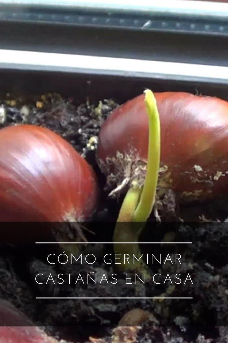 Cómo germinar castañas en casa