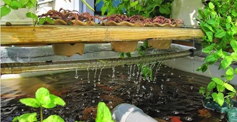 Acuapon a la simbiosis perfecta entre el cultivo de for Construccion de estanques para tilapia