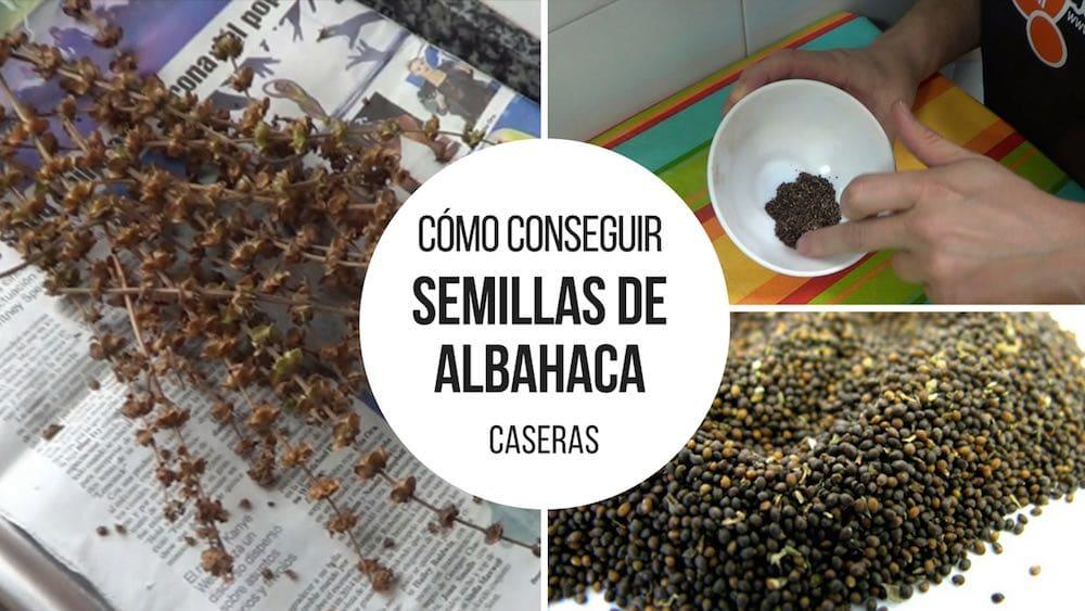 Como-conseguir-semillas-albahaca