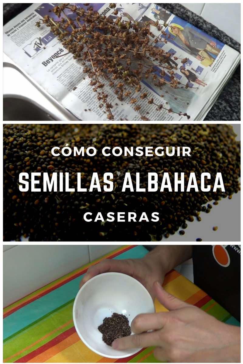 Cómo conseguir semillas de albahaca