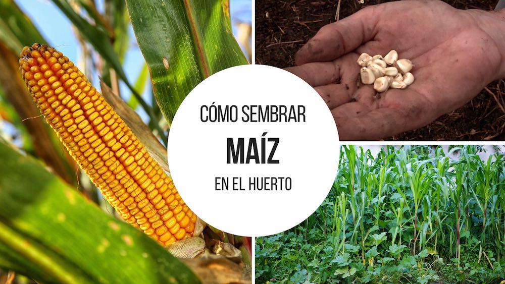 Como-sembrar-maiz-en-el-huerto
