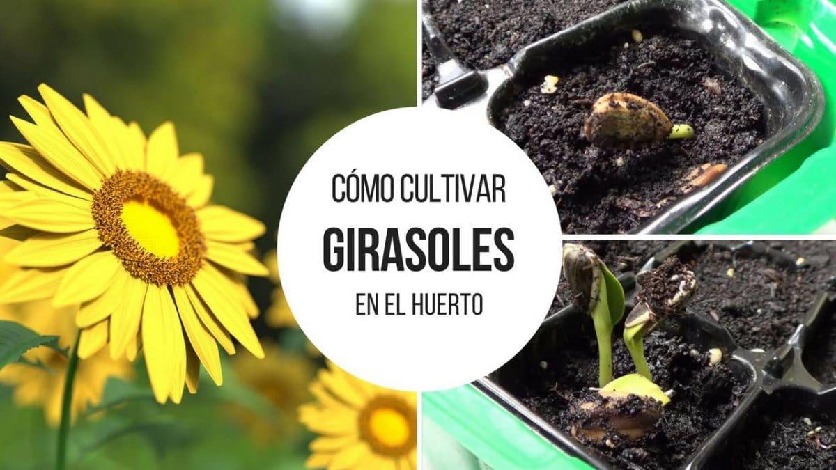 Cultivar-girasoles-huerto