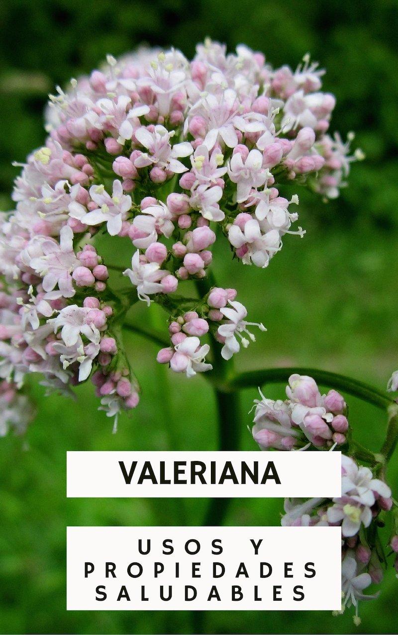 Beneficios, propiedades y usos medicinales de la valeriana