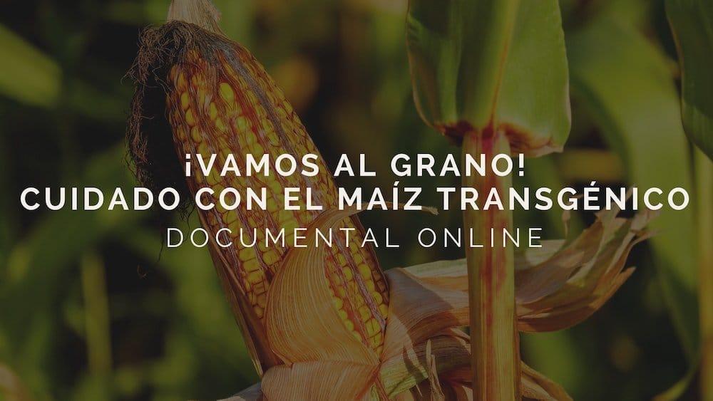 ¡Vamos al grano! Cuidado con el maíz transgénico