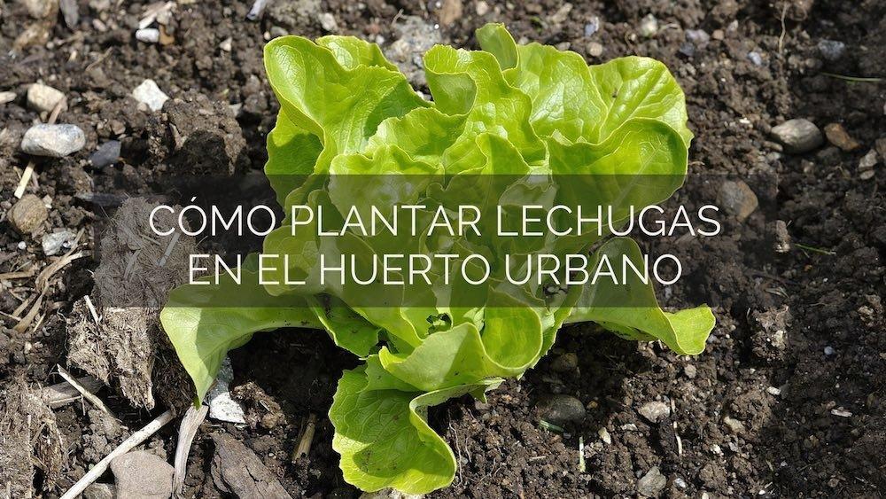 Como-plantar-lechugas-en-el-huerto-urbano