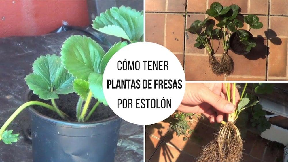 Cómo tener nuevas plantas de fresas por estolón