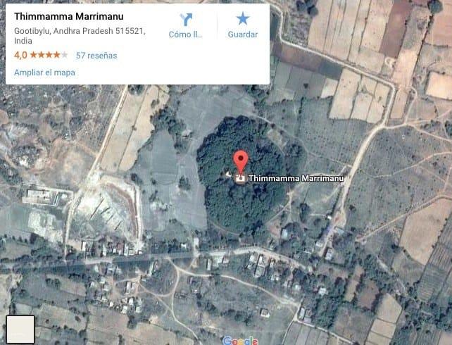 Thimmamma Marrimanu, el bosque Indio de 19.000 m2 formado por un sólo árbol