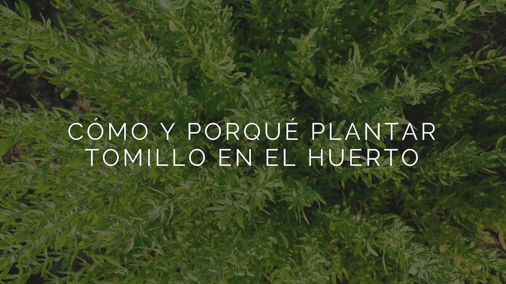 C%c3%b3mo-plantar-tomillo-en-el-huerto