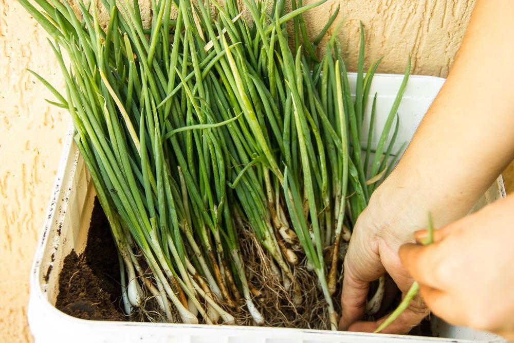 Cómo cultivar cebollinos