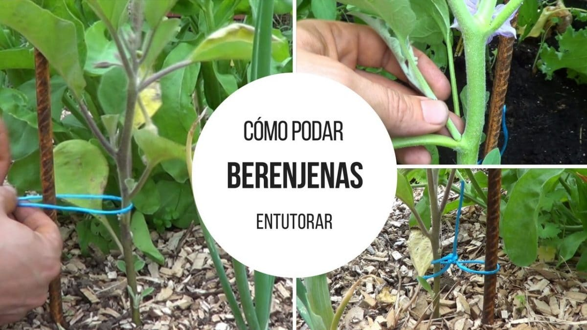 Cómo podar y entutorar el Cultivo de las Berenjenas