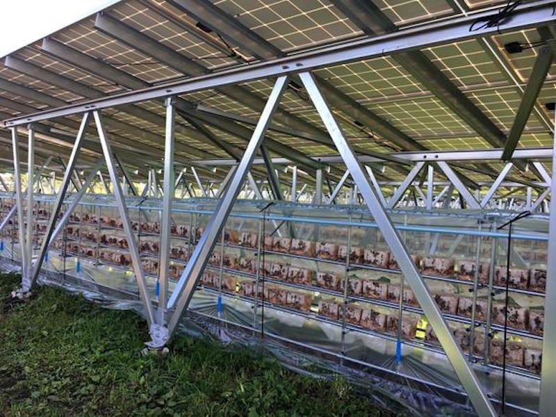 Las granjas solares en Japón, además de generar energía, ahora también producirán setas