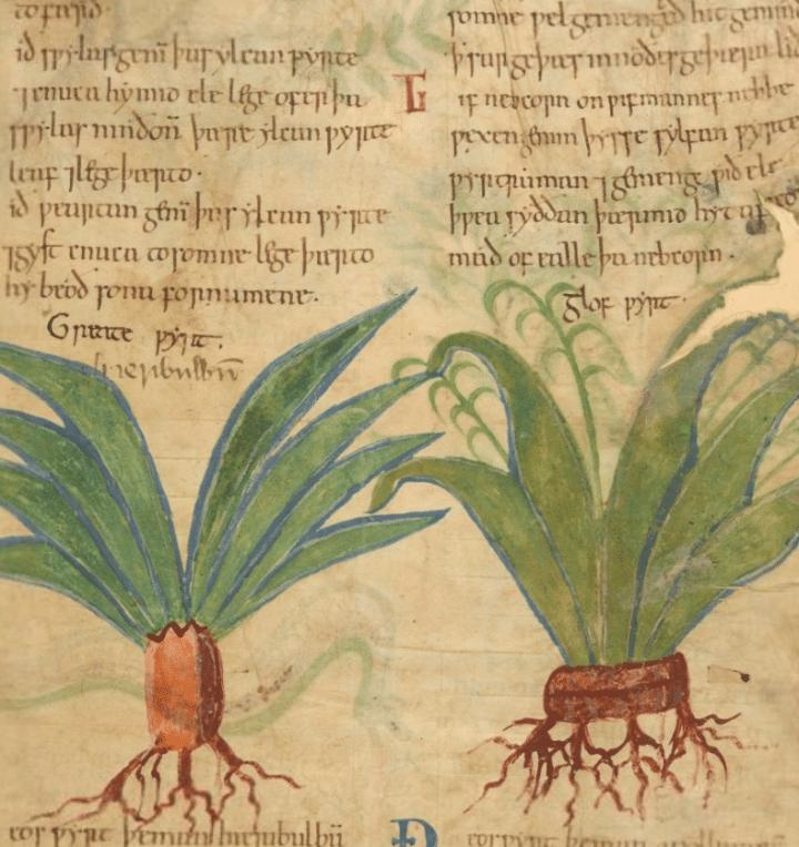 Manuscrito ilustrado de hierbas medicinales con más de1000 años disponible online