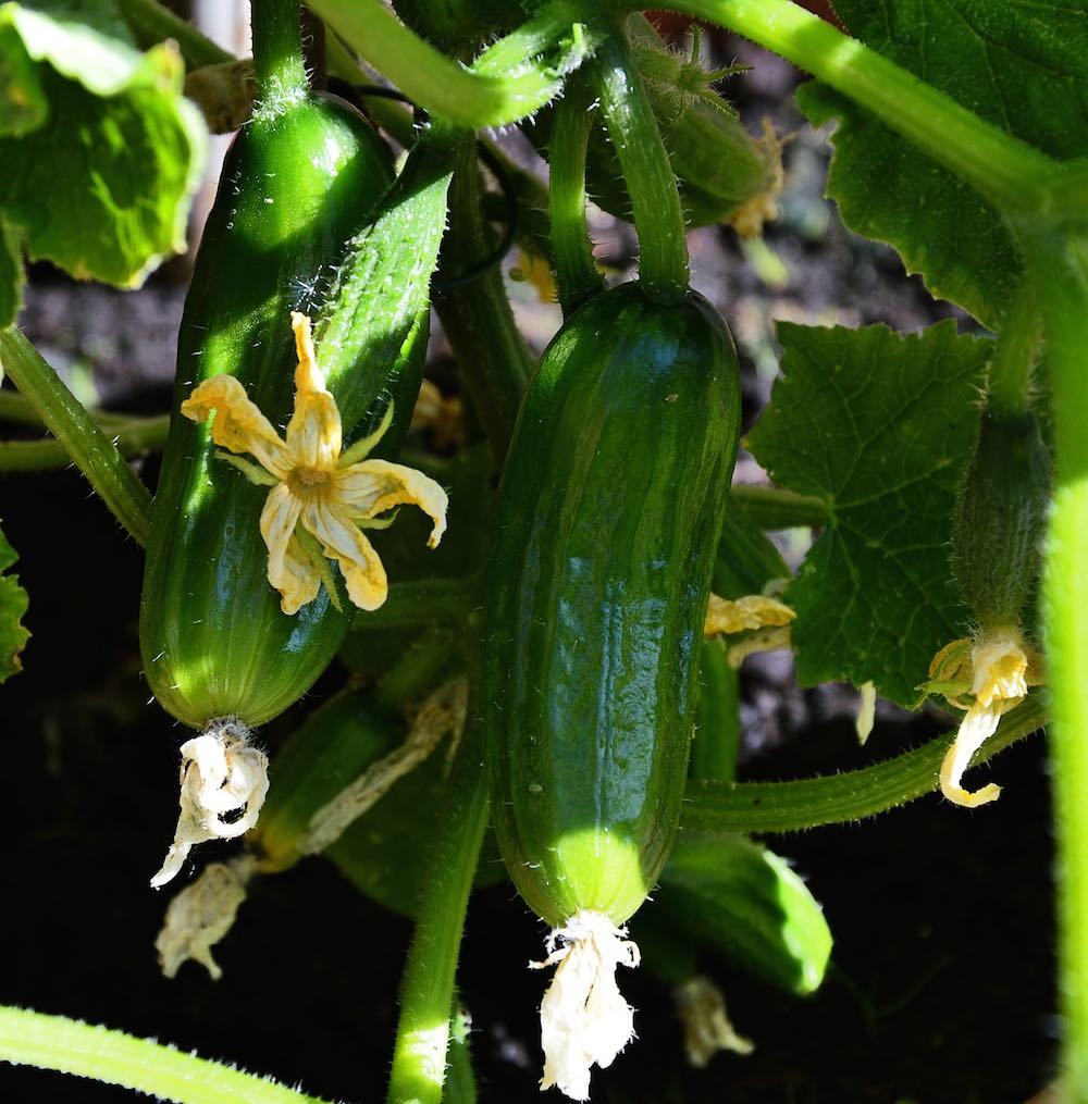 Cómo plantar pepino