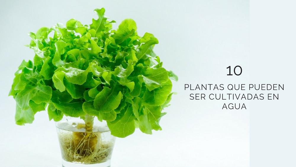 10 plantas que pueden ser cultivadas en agua for Plantas para estanques de agua fria