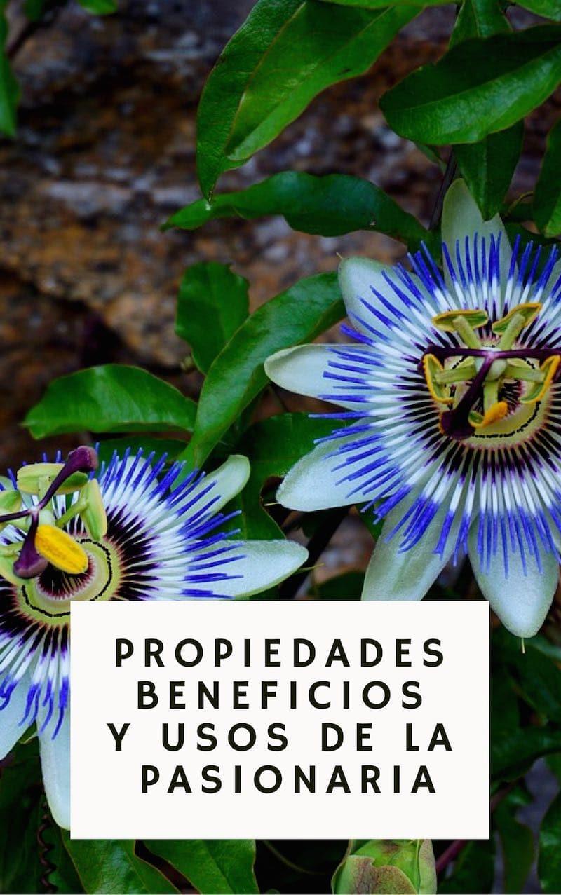 Los grandes beneficios y propiedades medicinales de la Pasionaria