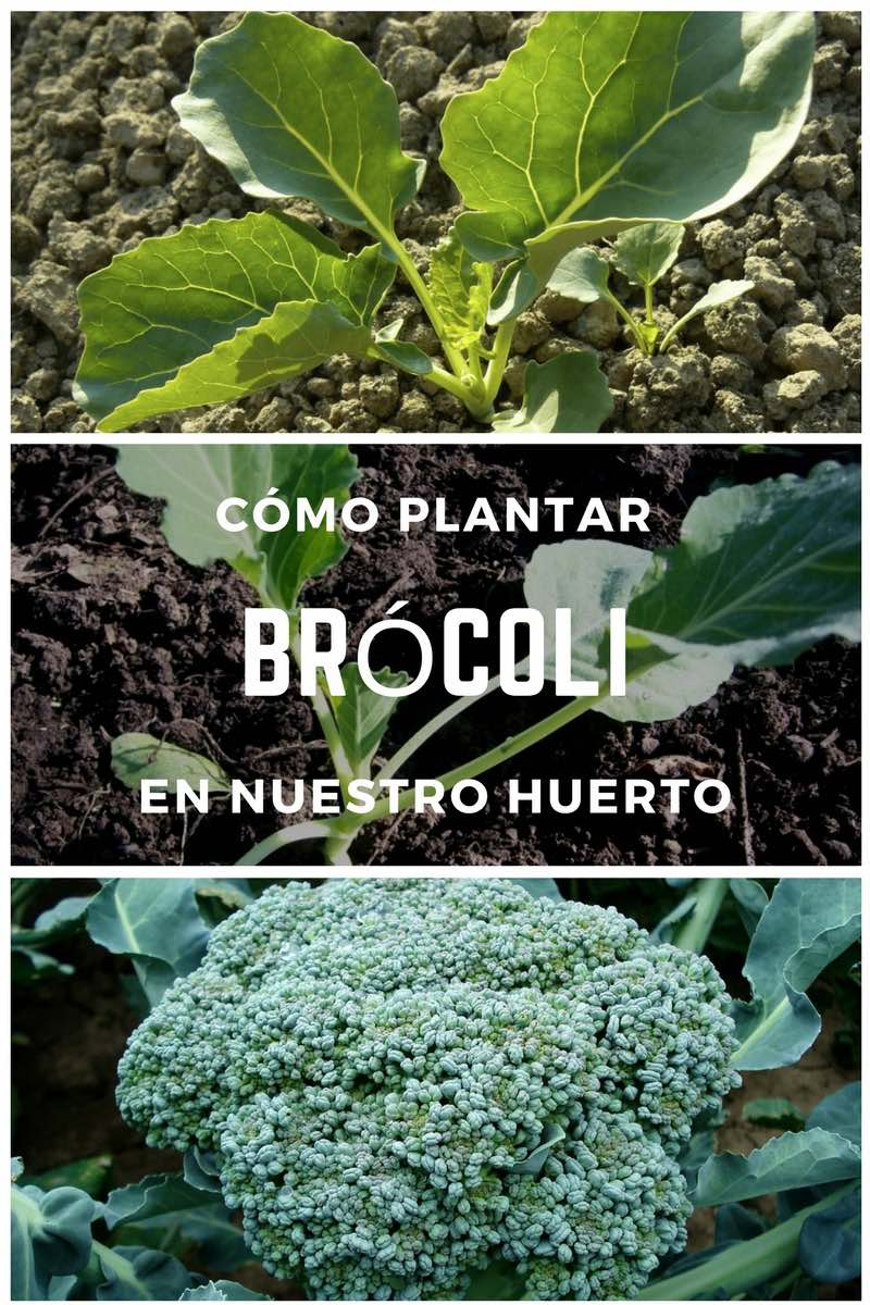 Cómo plantar Brócoli en nuestro huerto