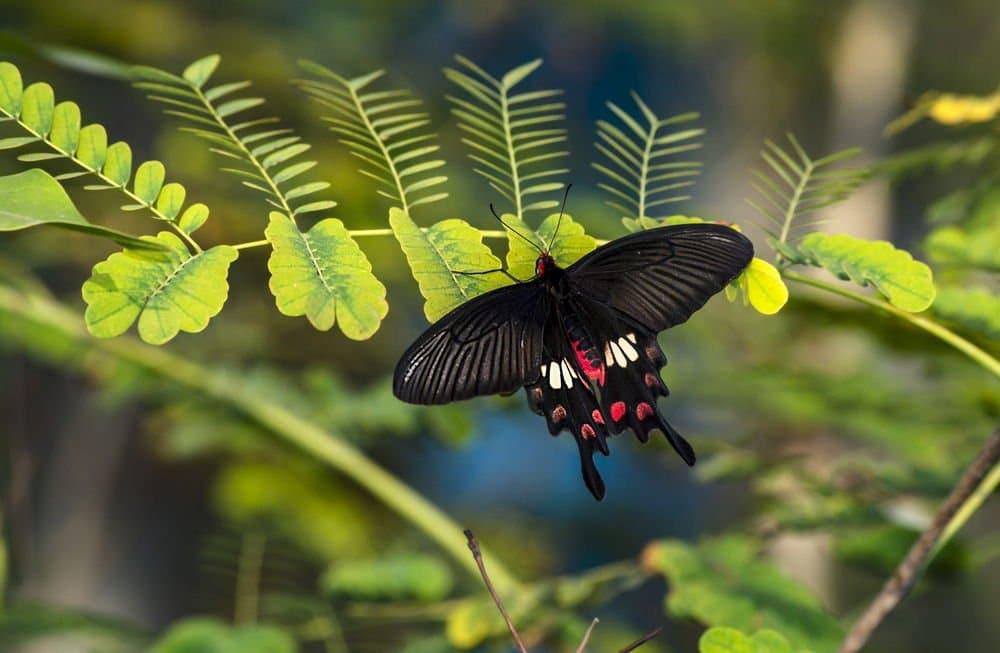 Mariposa-negra