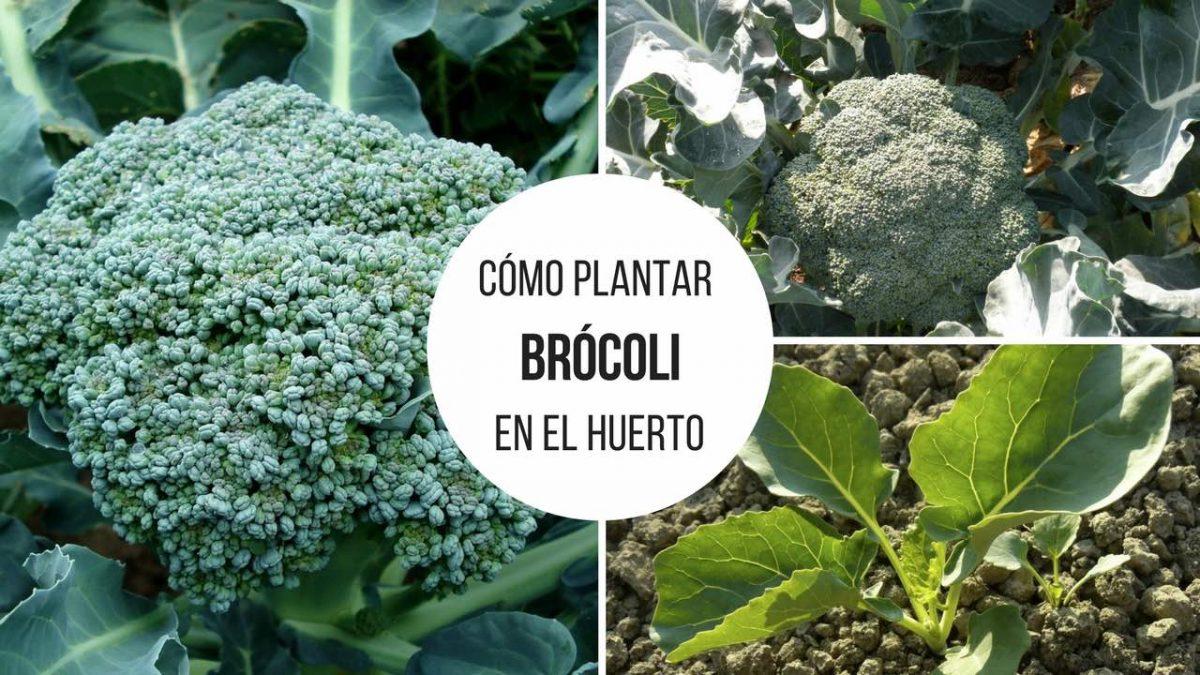Cómo plantar Brocoli en nuestro huerto