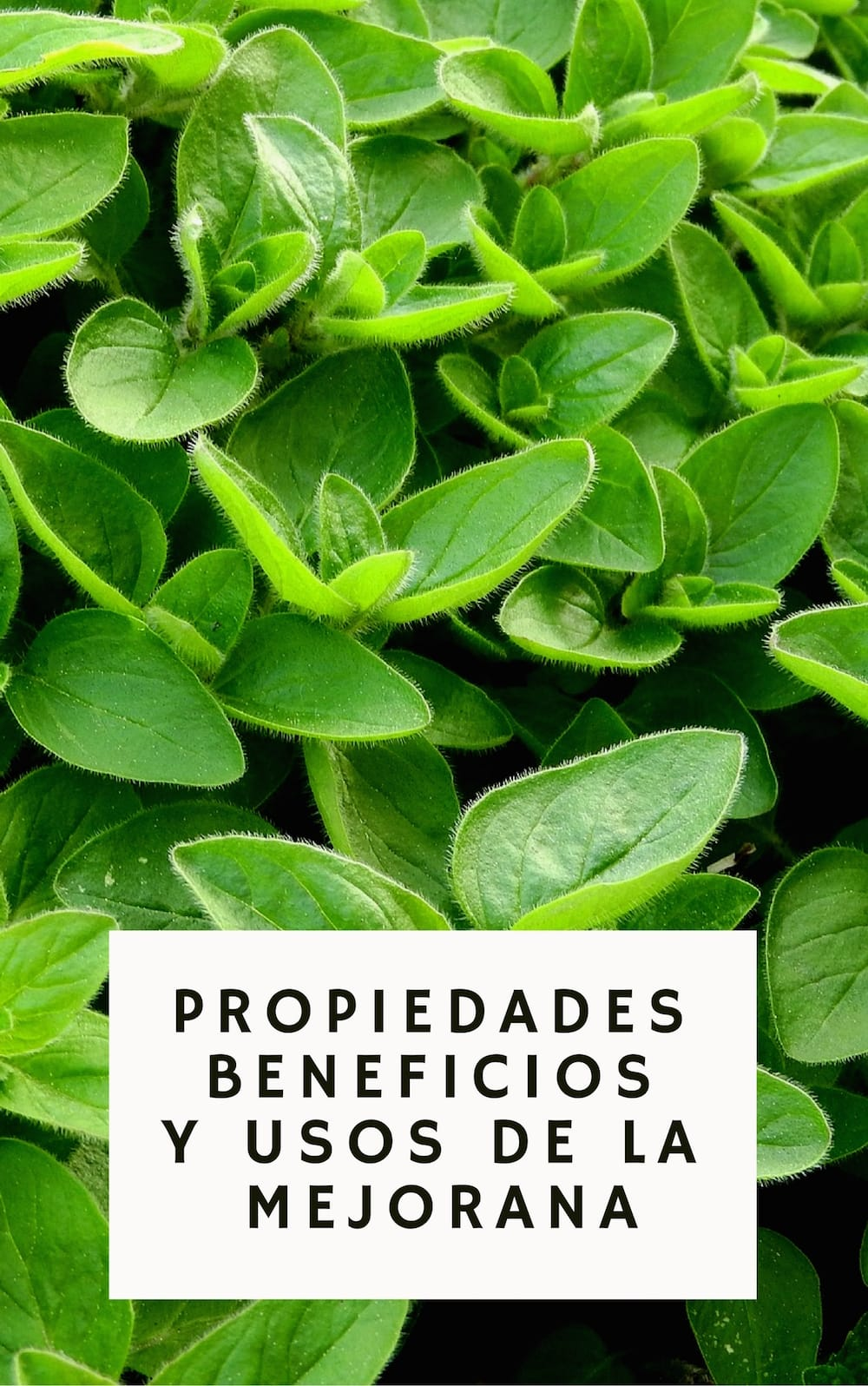 Los grandes beneficios y propiedades medicinales de la Mejorana