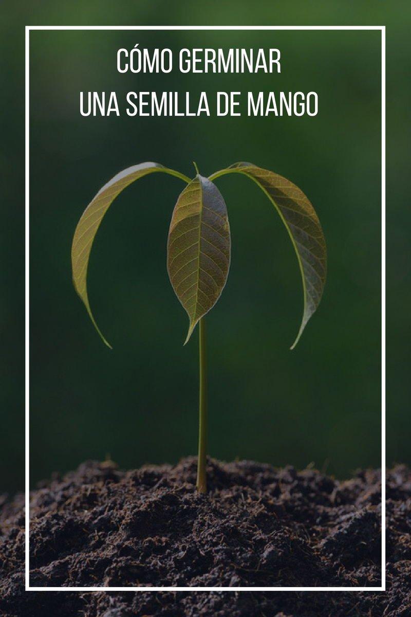 Cómo germinar una semilla de mango