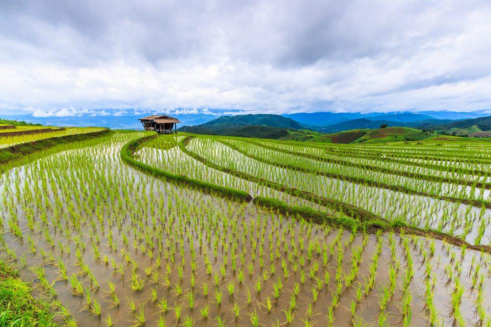 Plantación de arroz en agua salada