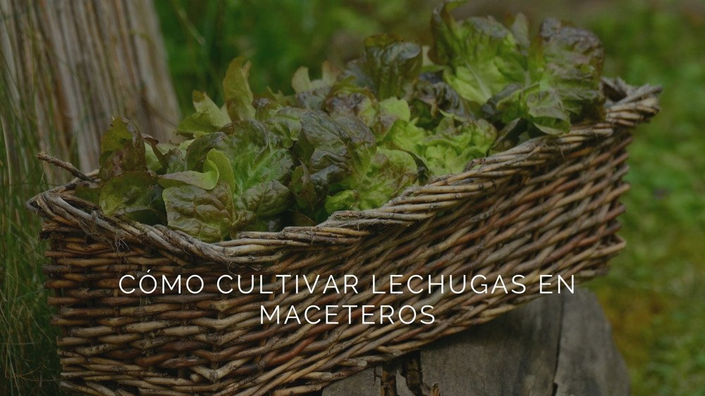 Cómo cultivar lechugas en maceteros