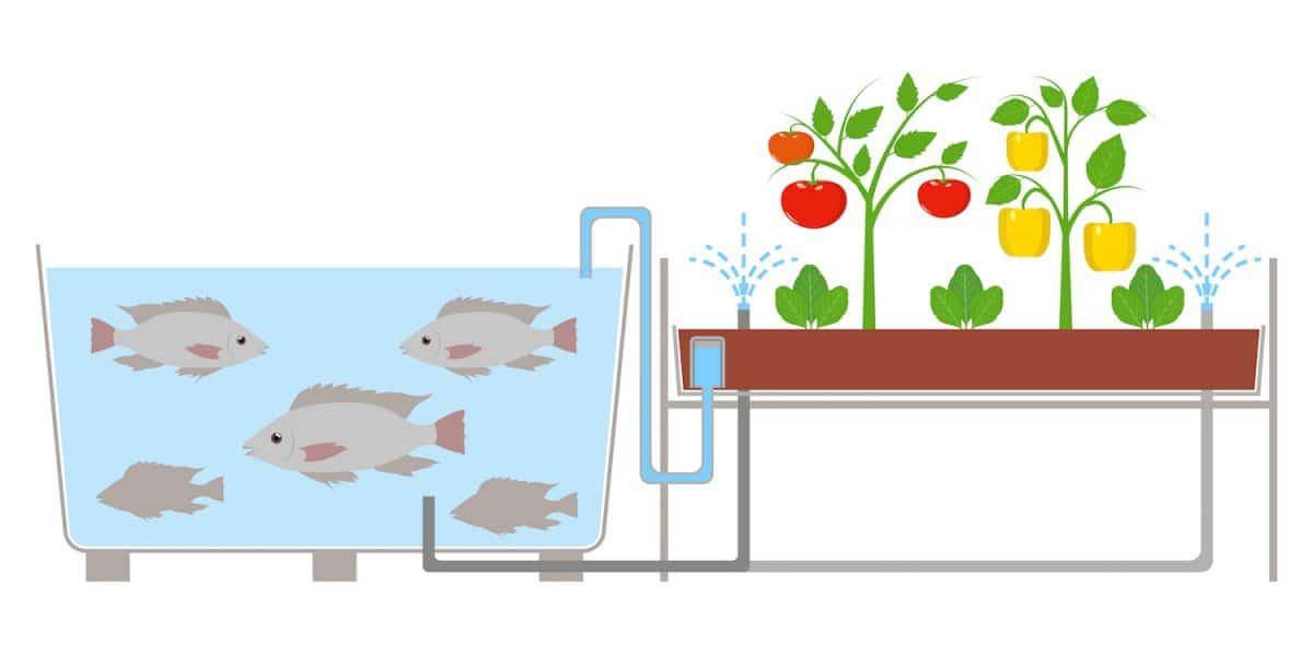 Acuaponía, la simbiosis perfecta entre el cultivo de plantas y la cría de peces.