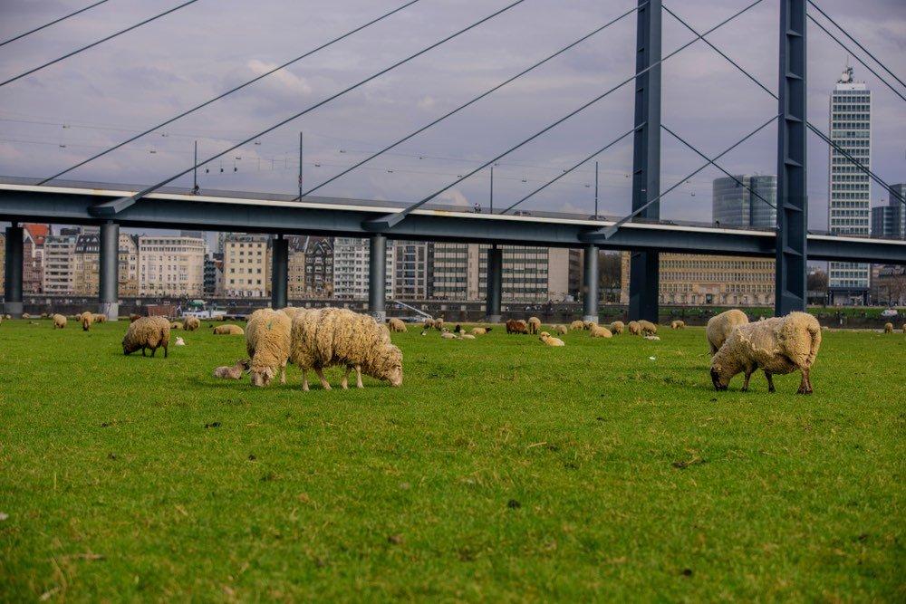 Roma apuesta por las cabras y ovejas para cortar la hierba de sus parques