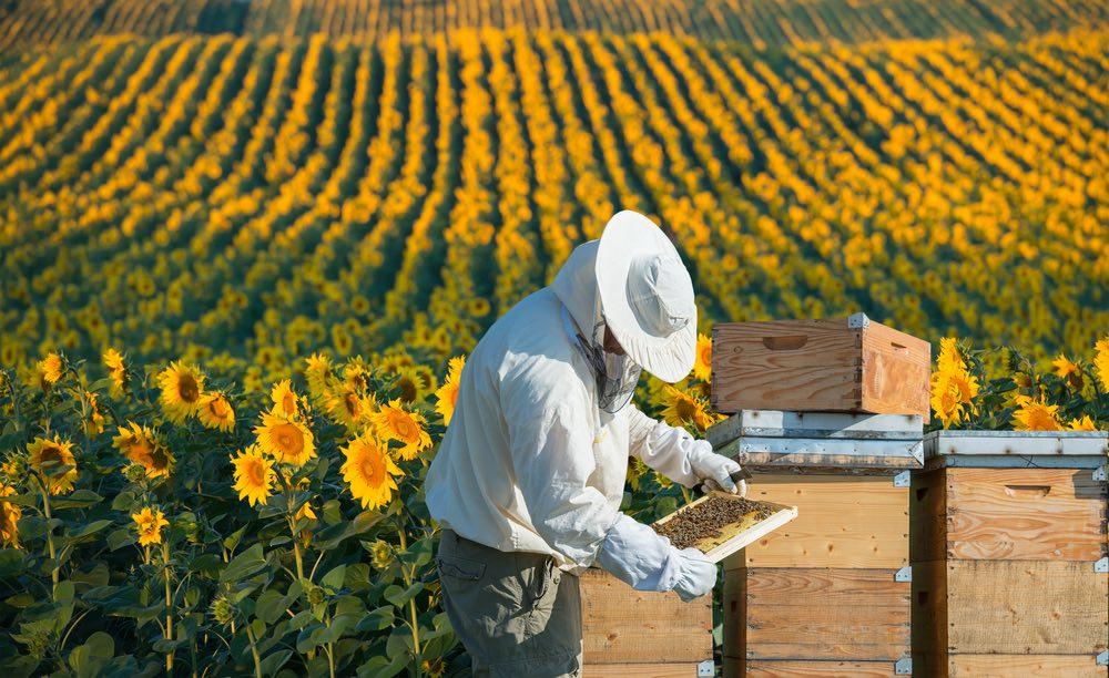 Apicultor trabajando en un campo de girasoles.