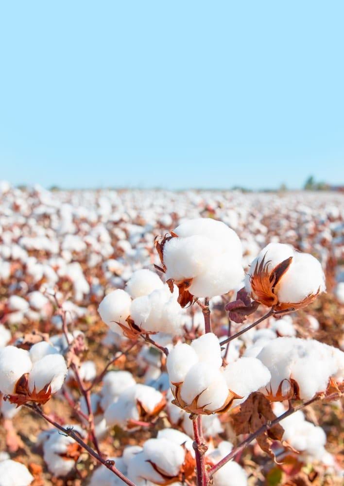 Razones para elegir productos fabricados con algodón orgánico