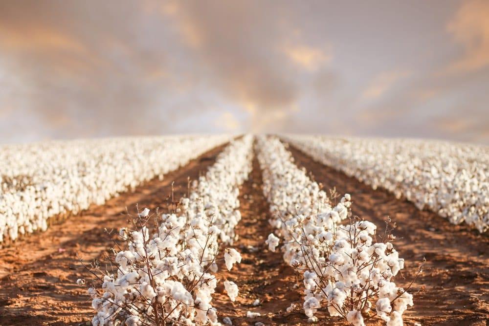 Plantación de algodón