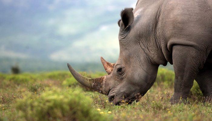 China vuelve a prohibir la venta de huesos de tigre y cuernos de rinoceronte tras la furia internacional
