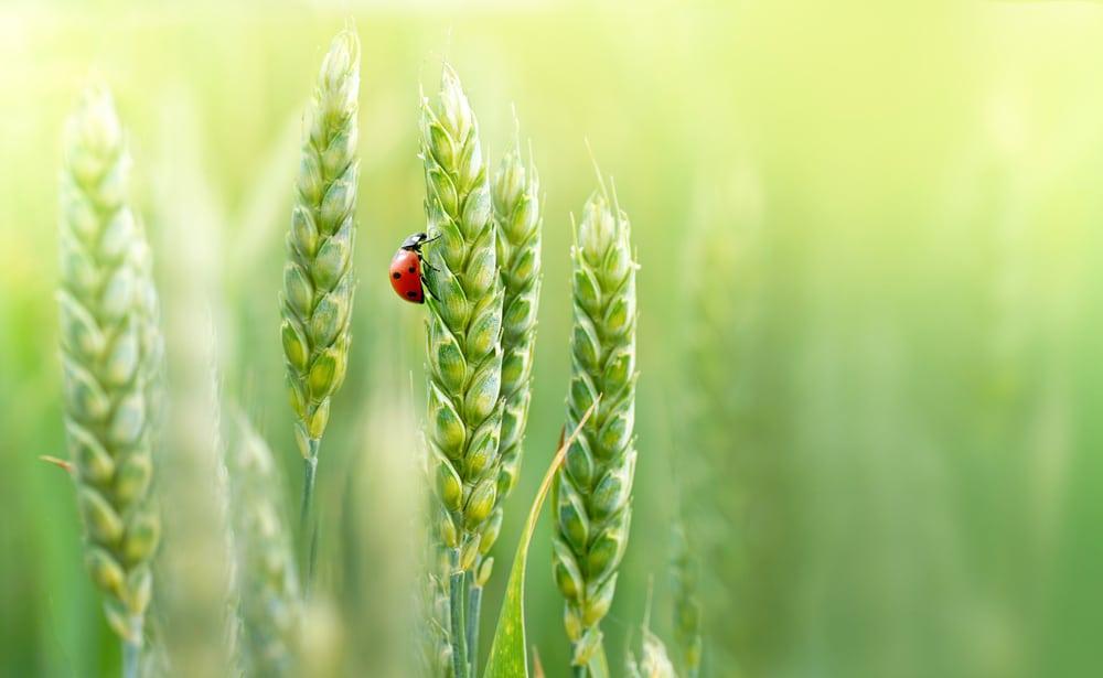 Insectos-cultivo