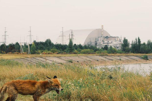 Zorro cerca de la Planta Nuclear Chernobyl