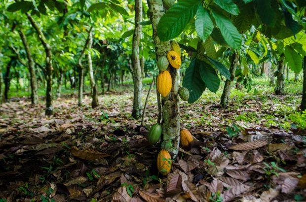 Plantación cacao