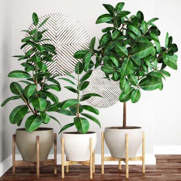 Ficus Robusta Cultivo Y Cuidados