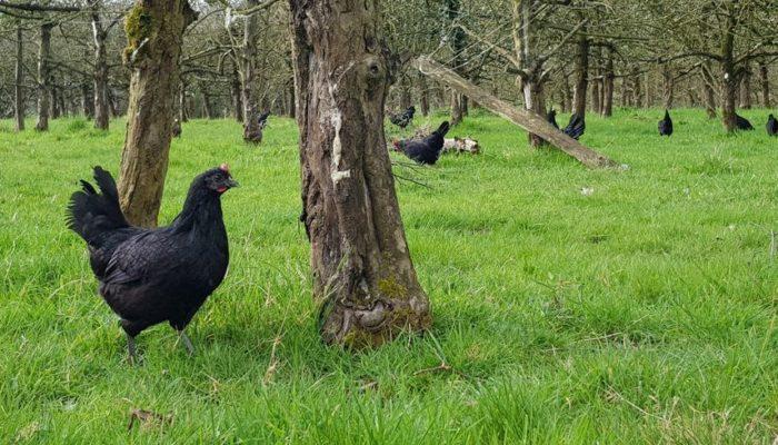 Las gallinas sustituyen a los pesticidas en el campo francés