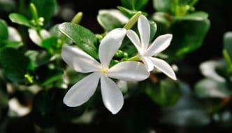 Carissa macrocarpa: cultivo y características