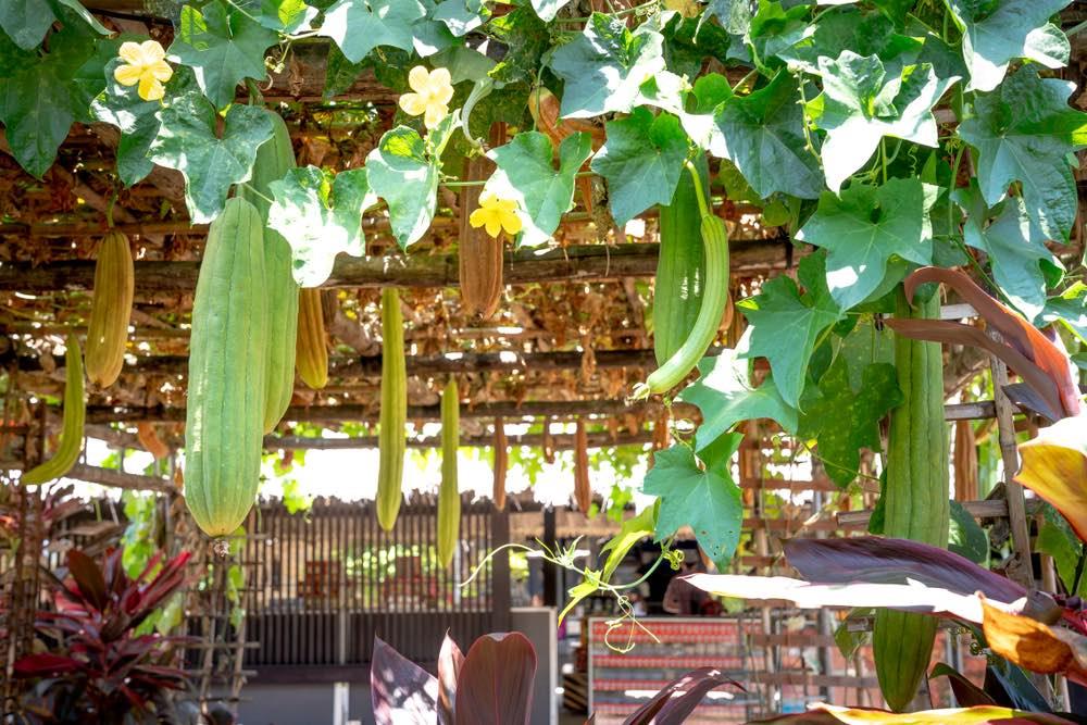 Cultivo de esponjas vegetales