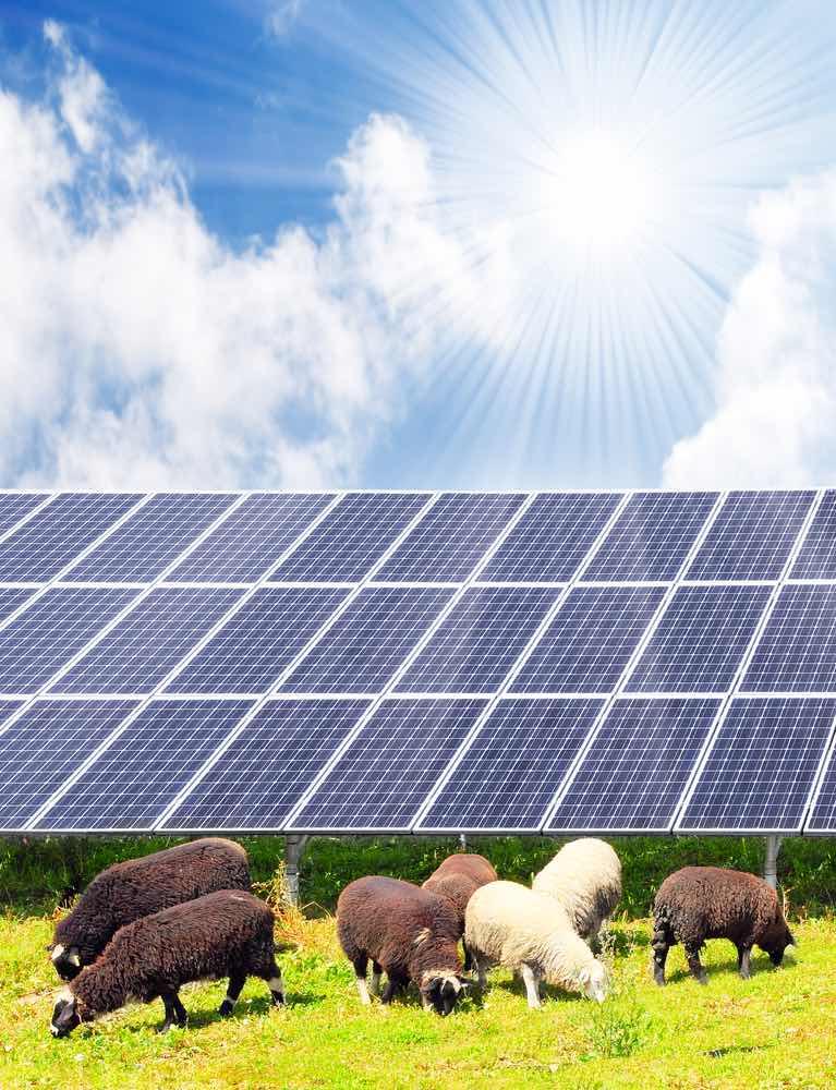 Ovejas solares