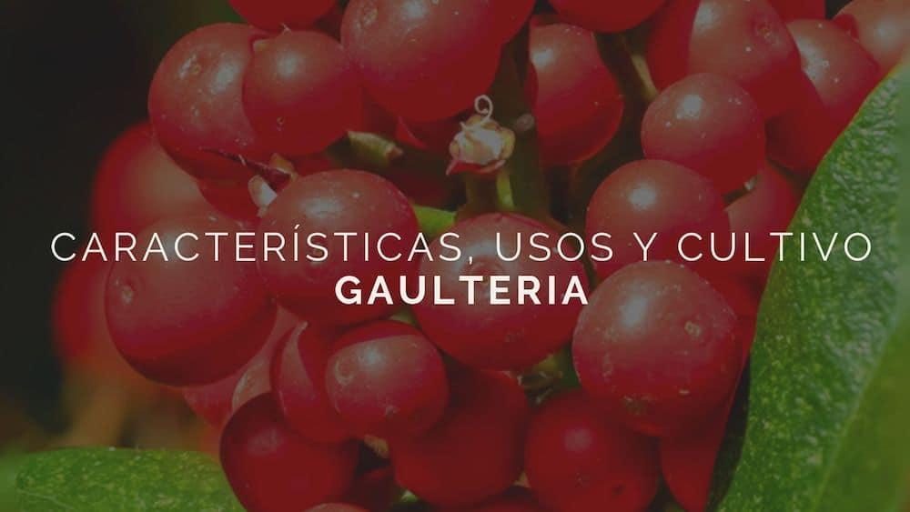 Gaulteria: características, usos y cultivo