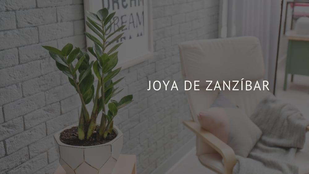 Joya de Zanzíbar: la planta ideal para apartamentos