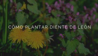 Cómo plantar Diente de León