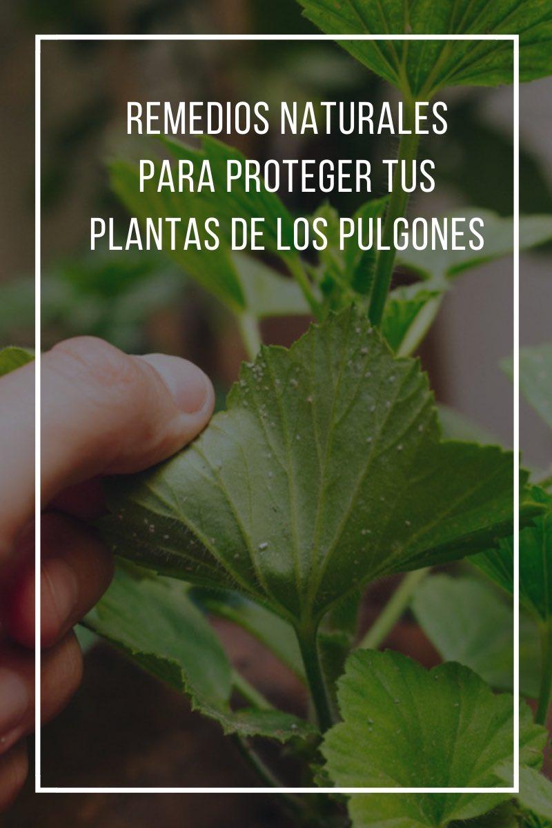Remedios naturales para proteger tus plantas de los pulgones
