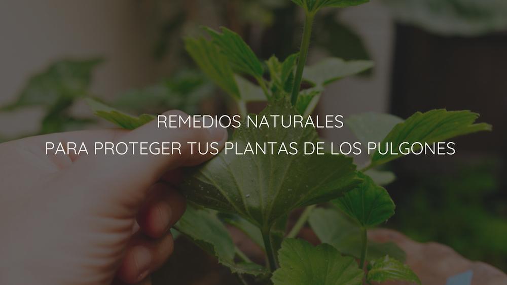 Remedios-naturales-pulgones