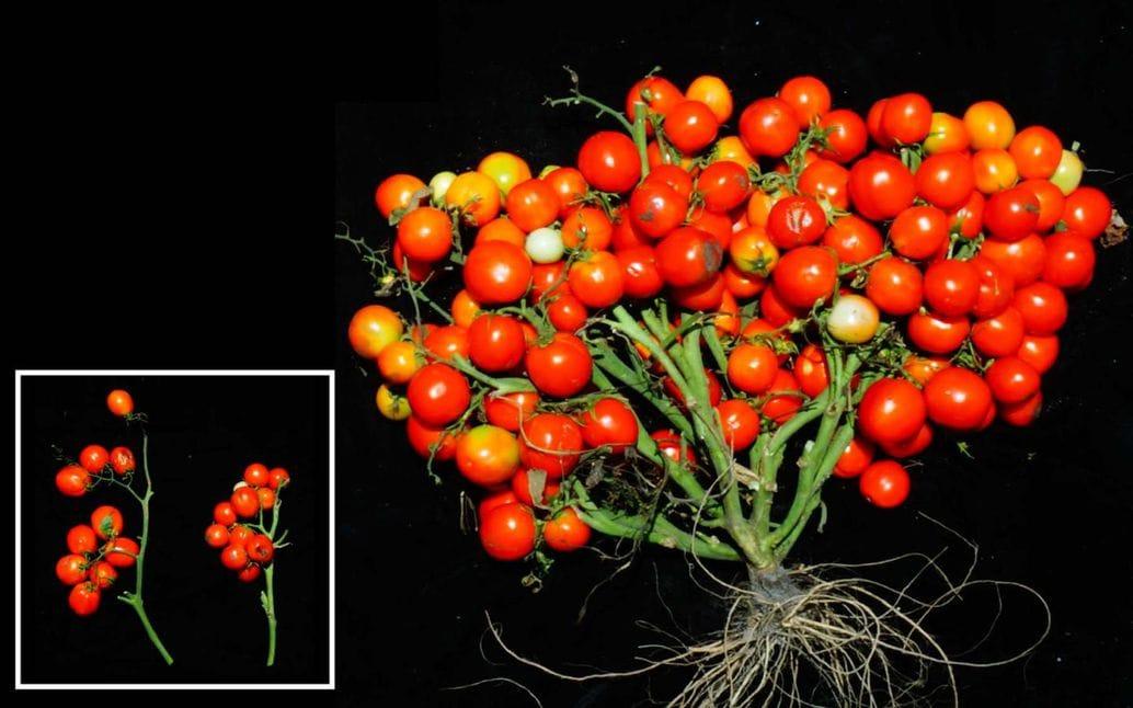 Ramilletes-de-cherry