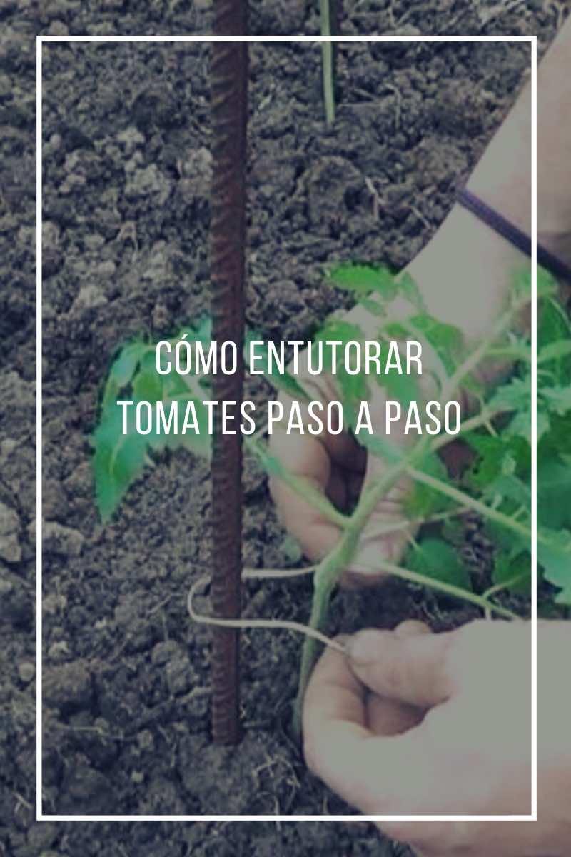 Cómo entutorar tomates paso a paso