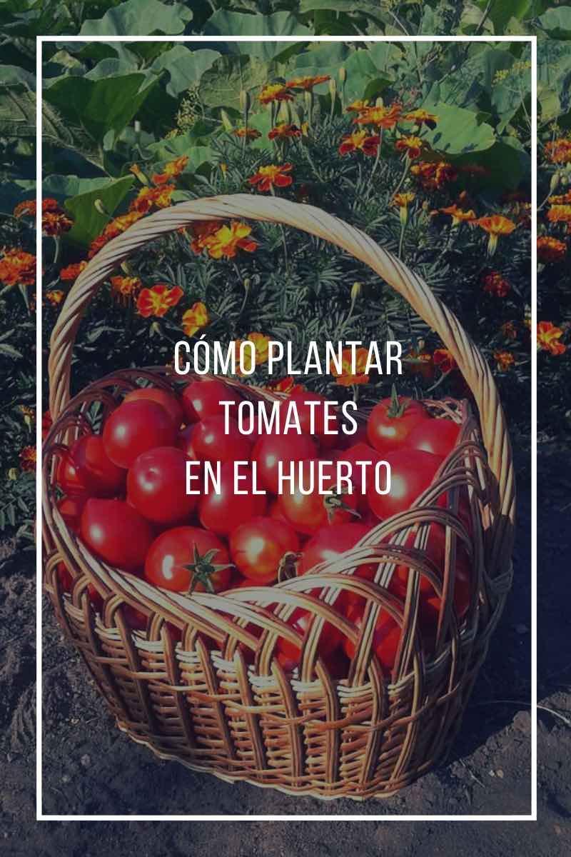 Cómo plantar tomates en el huerto