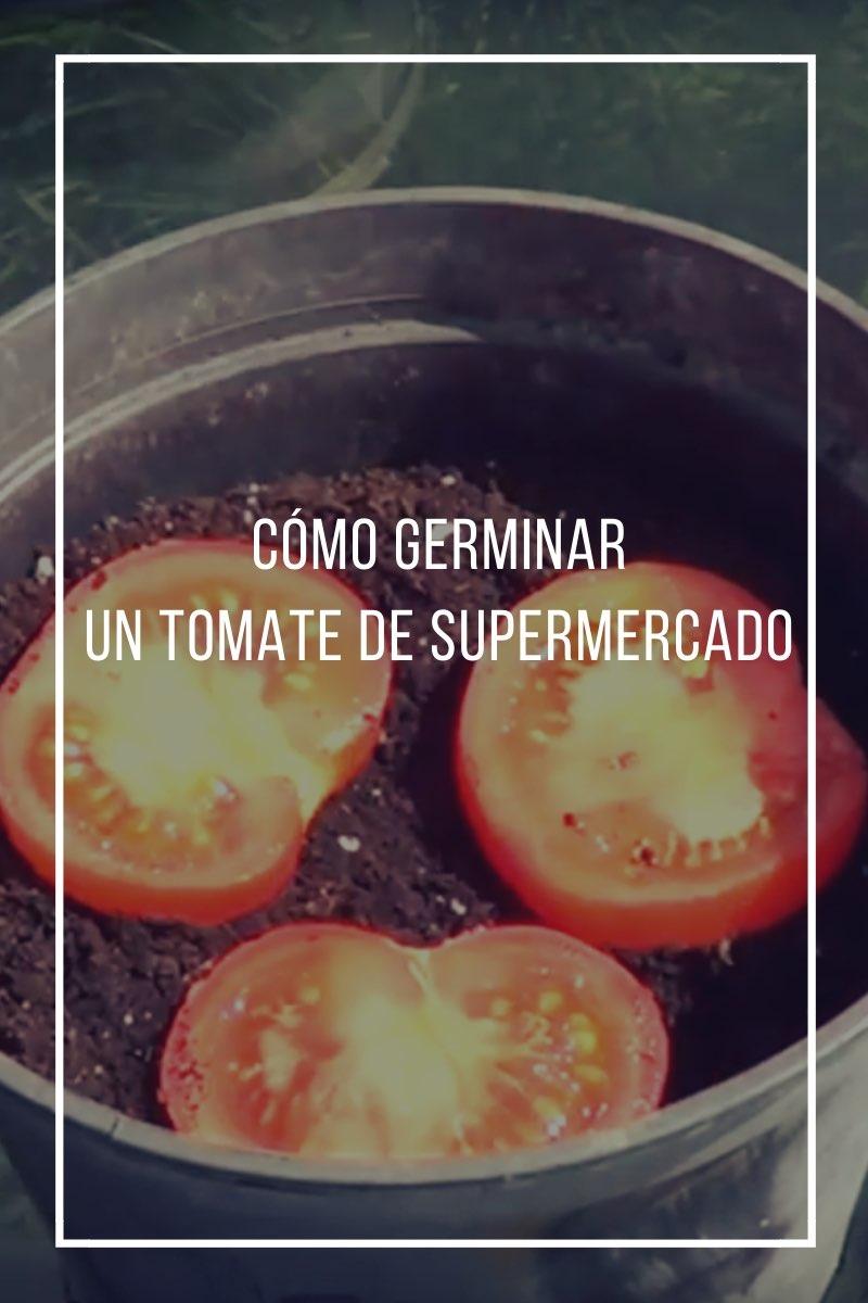 Cómo germinar un tomate de supermercado